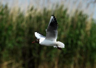 Ptaki Żuław Wiślanych - śmieszka